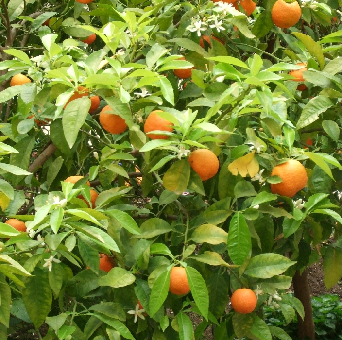 The bitter orange tree was originally cultivated in the Asian continent. Known for its bitterness, it is not that popular among people who like fruits for their sweetness. Its peels and skin are apparently more popular than the fruit itself. Moreover, it has found many uses in the cosmetic and beauty industry for its anti-ageing properties found in its oil. Furthermore, its peels are used in making marmalades and they are crushed to be used as powder in seasonings to add a bit depth in the flavor of the meal.