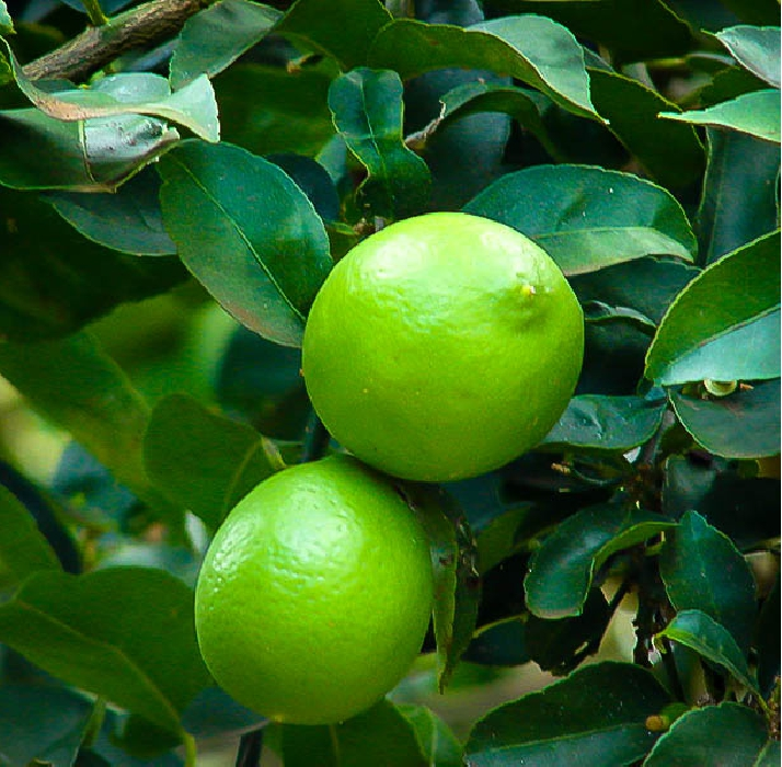 Key Limes have been known for their highly unique flavor and taste that are different from limes from other groups. This is because of the higher acidity and aromatic property of the key lime fruit. Originally found in Florida, this fruit was traditionally used for making Key Lime Pies. You can grow lemon key limes using the cutting technique that many people use to cultivate different types of plants that produce amazing and fast results.