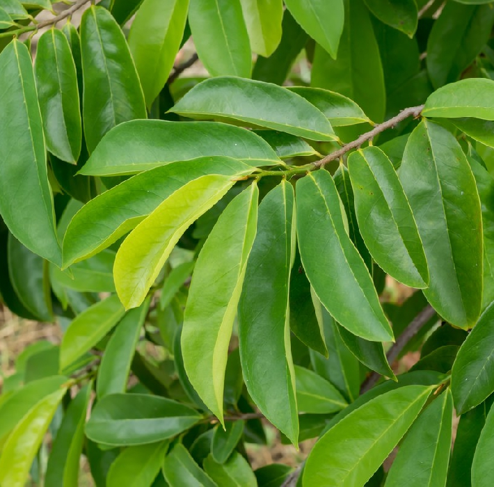 The small, evergreen plant with a cactus look has gained significant highlight for its medicinal values. Although not enough research has been done, many suggest it is good for people with cancer. Moreover, the fresh graviola leaves are well known for making medicines that are used for curing many infections. These infections include a lot of bacterial and parasitic infections that cause cough, herpes, sand flea bites, and the list goes on. In Africa, people also use its bark and roots for the treatment of different ailments. That is the reason you can find it in almost all herbal shops.
