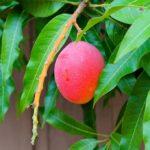 Mango-Tree-High-Quality-Wallpaper-1024×683
