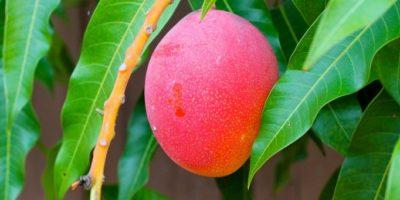 Mango-Tree-High-Quality-Wallpaper-1024x683