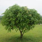 Mango-Tree-Wallpaper