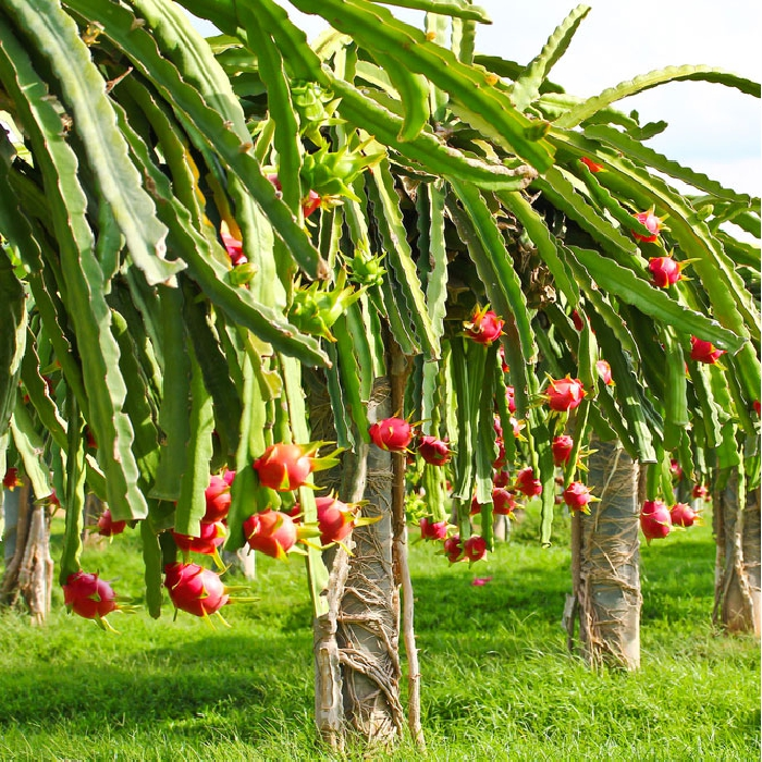 Pitaya tree looks like a work of art with its highly unique appearance that is highly distinctive. This tree straight from a magical story book has its leaves protruding downwards with sharp thorns on either sides and bulbous, red flowers that surprisingly bloom overnight. After a month or two of its plantation, you can find a dragon fruit sprouting from the flowers, which is a delicious fruit known famously for its vibrant look and taste. If you have a taste for artsy stuff, this plant will make a perfect addition to your area given a suitable climate and temperature.