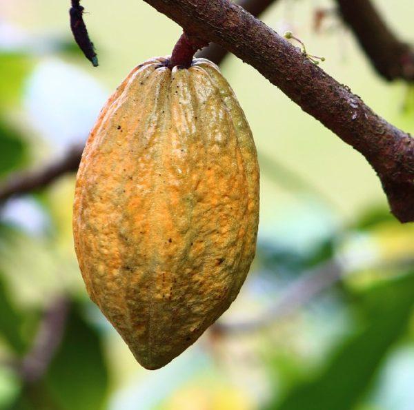 cacao tropical fruit tree