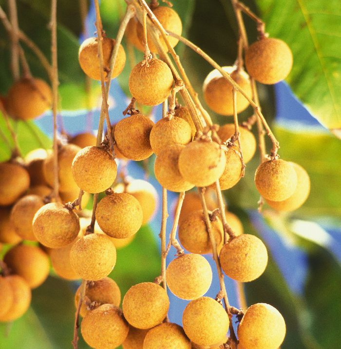 The exotic Longan tree is a tree that grows in tropical areas and has an edible fruit. If you love eating juicy fruits, the fruit from this tree makes for an incredible choice. The pulpy fruit belongs to the soapberry family of plants (lychee being also the member of the same group) and has a sweet, candy like flavor with a mild aroma.