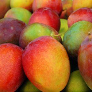 Mango haden tropical tree