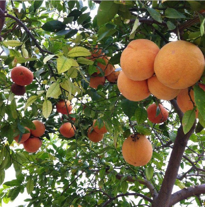 pink grapefruit tree
