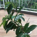 soursop_seedling_1547365072_0a33d6cb_progressive