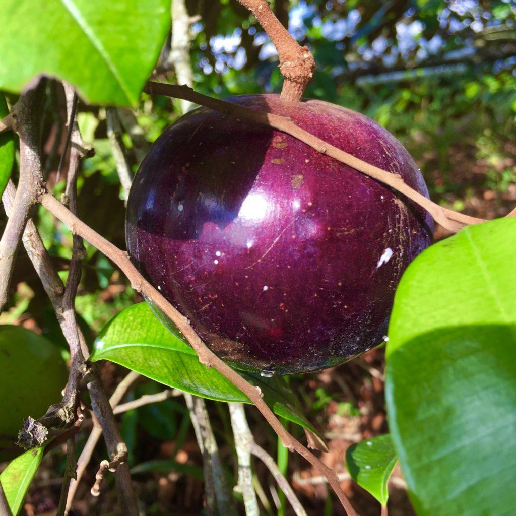 Star Apple (Caimito)Fruit Tree 2'-3' - TROPICAL PLANTAE
