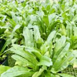 Long Coriander / Culantro (Eryngium foetidum)