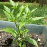 Chili pepper (Capsicum annuum var) tropical live plant 12″-24″