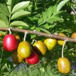 spanish plum